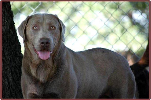 Silver Crest Labs Silver And Charcoal Labrador Retrievers Labrador Retriever Charcoal Labrador Labrador