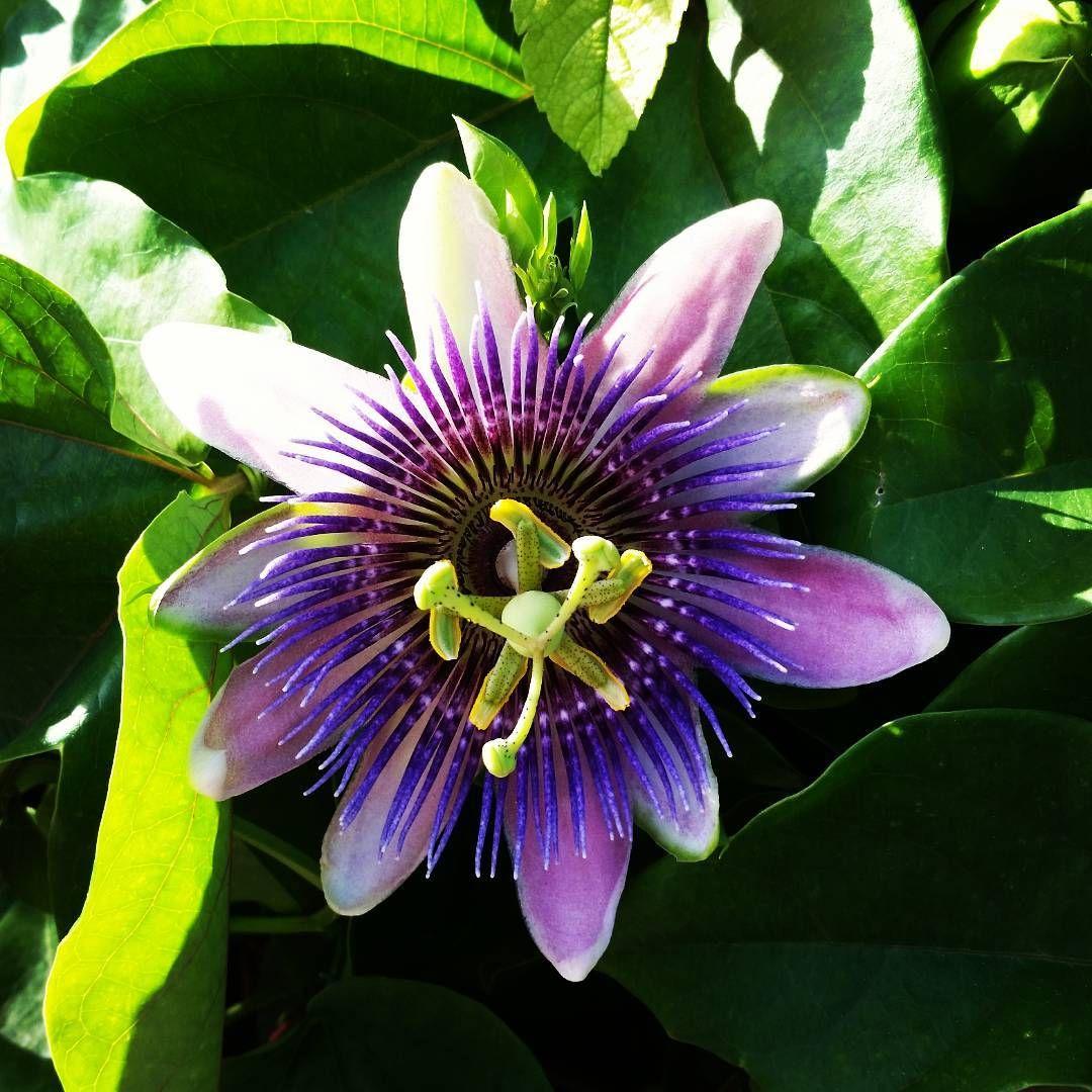 Beautiful passion fruit flower keywest flowers