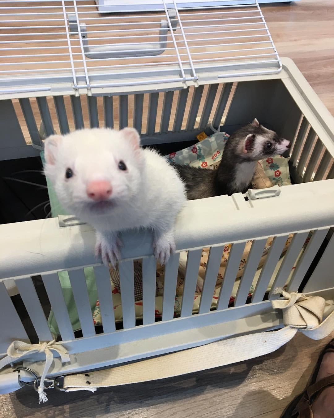 で 病院かよっ つイタチ ついたちはイタチの日 イタチごはん イタチ フェレット ごはん屋 しんか動物病院 おのら先生 Cute Ferrets Cute Animals Animals