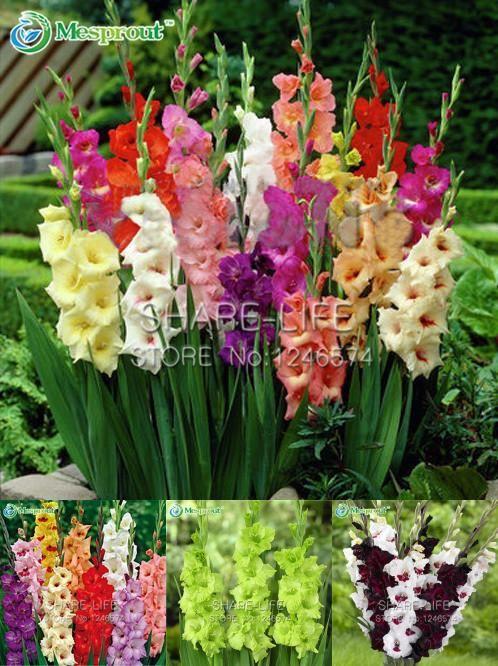 Visit To Buy 20pcs Gladiolus Seeds Flower Seeds Perennial Potted Plants Indoor Aerobic Gladiolus Flower Seeds Advertisement Gladiolus Flower Bulb Flowers Gladiolus Bulbs