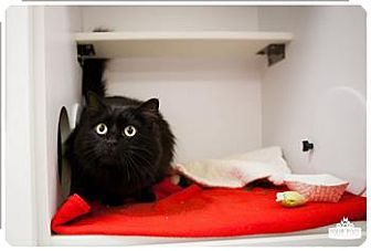 Silverdale Wa Domestic Longhair Meet Annie A Cat For Adoption She Is The Sweetest Thing And Deserves A Real Home Kitten Adoption Cat Adoption Cat Shelter