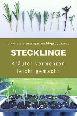 Stecklinge - Kräuter vermehren leicht gemacht BY STEIERMARKGARTEN  20:00  ANZUCHT, GARTENWISSEN, KRÄUTER Viele Pflanzen können sehr