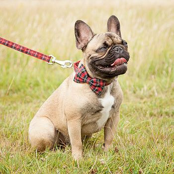 Scotty Bow Tie Dog Collar Puppy Collars Bulldog Puppies Puppy