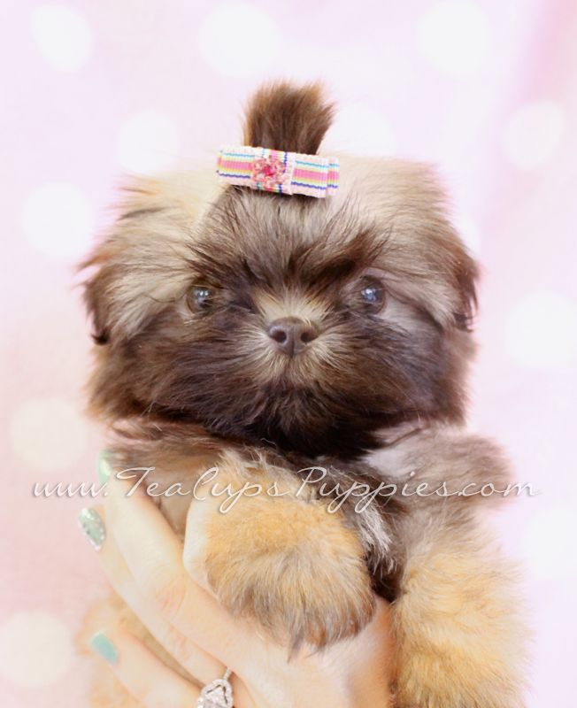 Shitzu Dogs For Sale Shih Tzu Puppy For Sale In South Florida