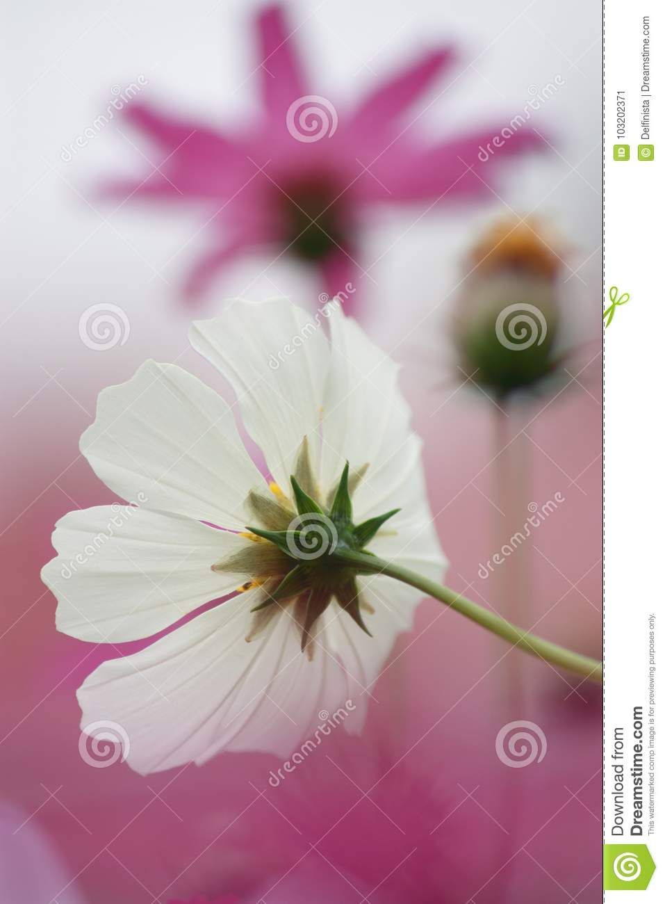 Photo about floral background white pink cosmos flower in bloom