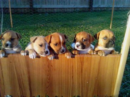 English Staffy X American Bulldog Puppies Dogs Puppies