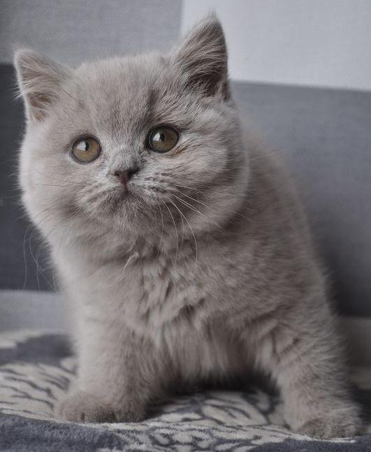 Rassekatzen von Avrtatiana auf British ️Cats ️ Katzen, Rasse