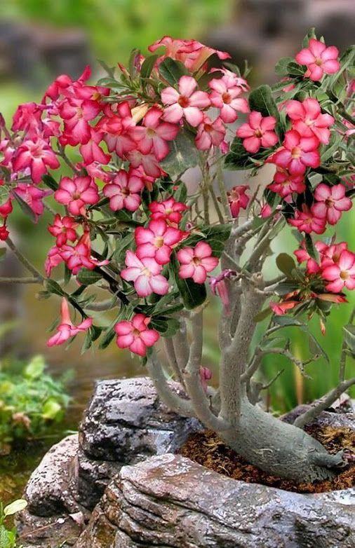 ROSA DEL DESIERTO...DESERT ROSE... | Rosa del desierto, Flores ...