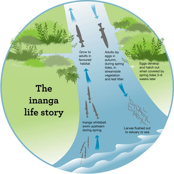 lifestage diagram of inanga explore nz rivers, lakes and wetlands Freshwater Lens lifestage diagram of inanga nature activities, freshwater fish, fresh water, rivers,