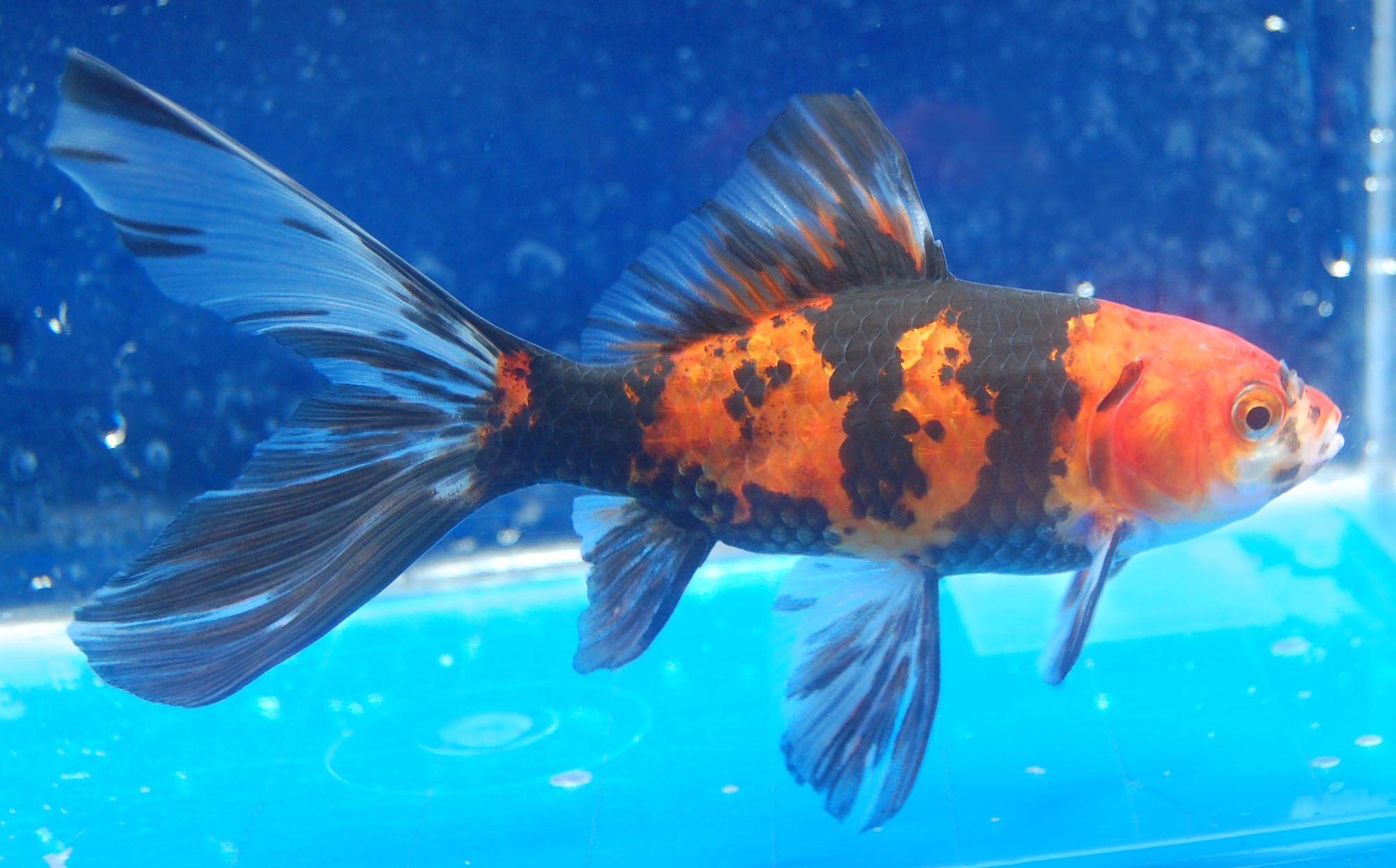 Goldfish tiger stripes shubunkin goldfish for the pond for Tiger striped fish