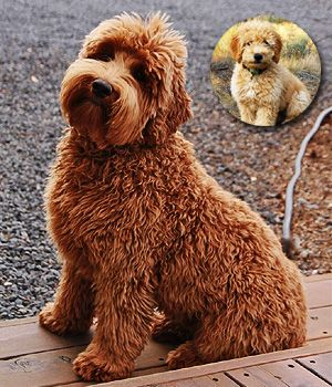 Double Doodle Price Temperament Life Span Cute Dogs Breeds