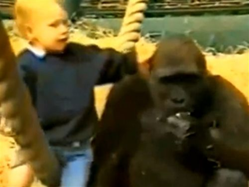 Girl plays with gorillas: Example of irresponsible parenting?