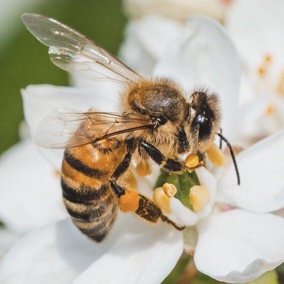 honey bees endangered - 565×565