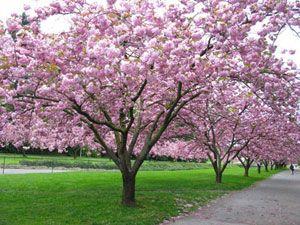 Stroll Uw Campus On Updated Brockman Tree Tour Website Uw School Of Forest Resources September 2010 Cherry Tree Blossom Trees Flowering Cherry Tree