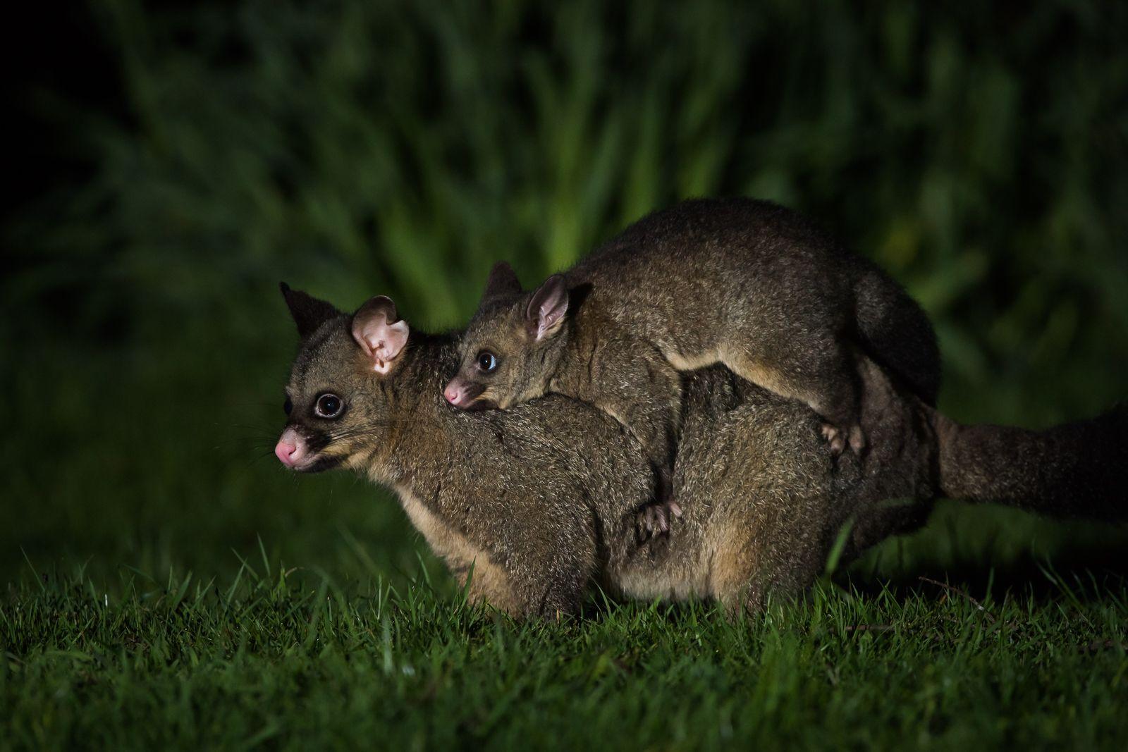 Common Brushtail Possum With Joey Australian Animals Possum Animals