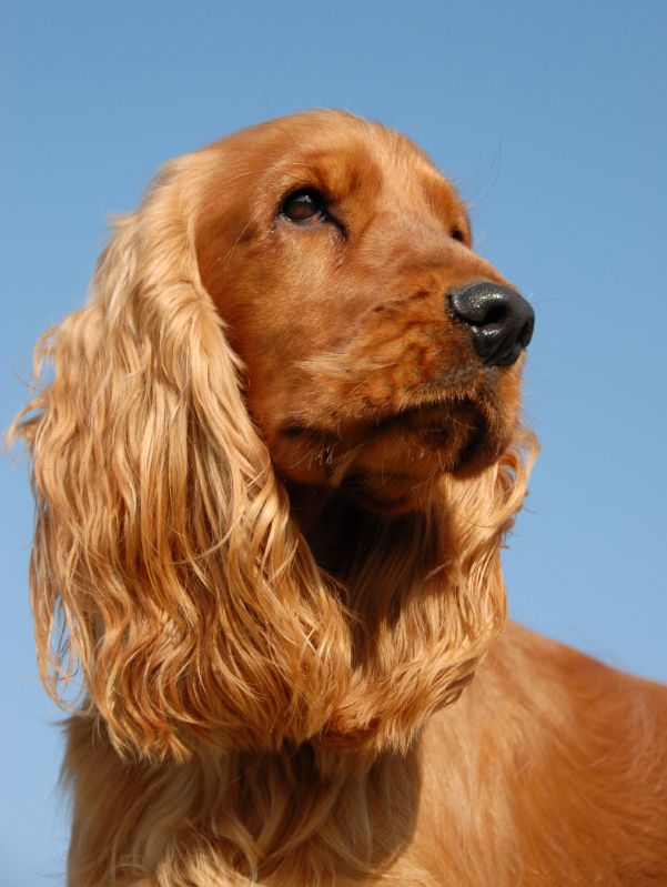 While a bout of reverse sneezes is frightening at first, it is important to remember that your pet is not in any respiratory distress. Just as a regular sneeze is your dog's way of clearing irritants from the front of his nasal cavity, a reverse sneeze is his attempt to clear irritants from the nasopharynx, or the back of the nasal cavity. What results is a series of rapid and repeated snorting sounds that can be quite alarming if you've never heard them before.
