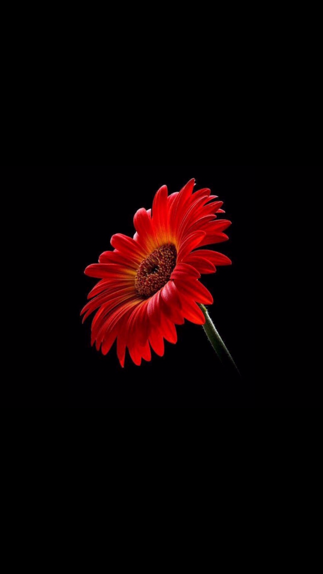 Red Gerber daisy Flower backgrounds, New wallpaper