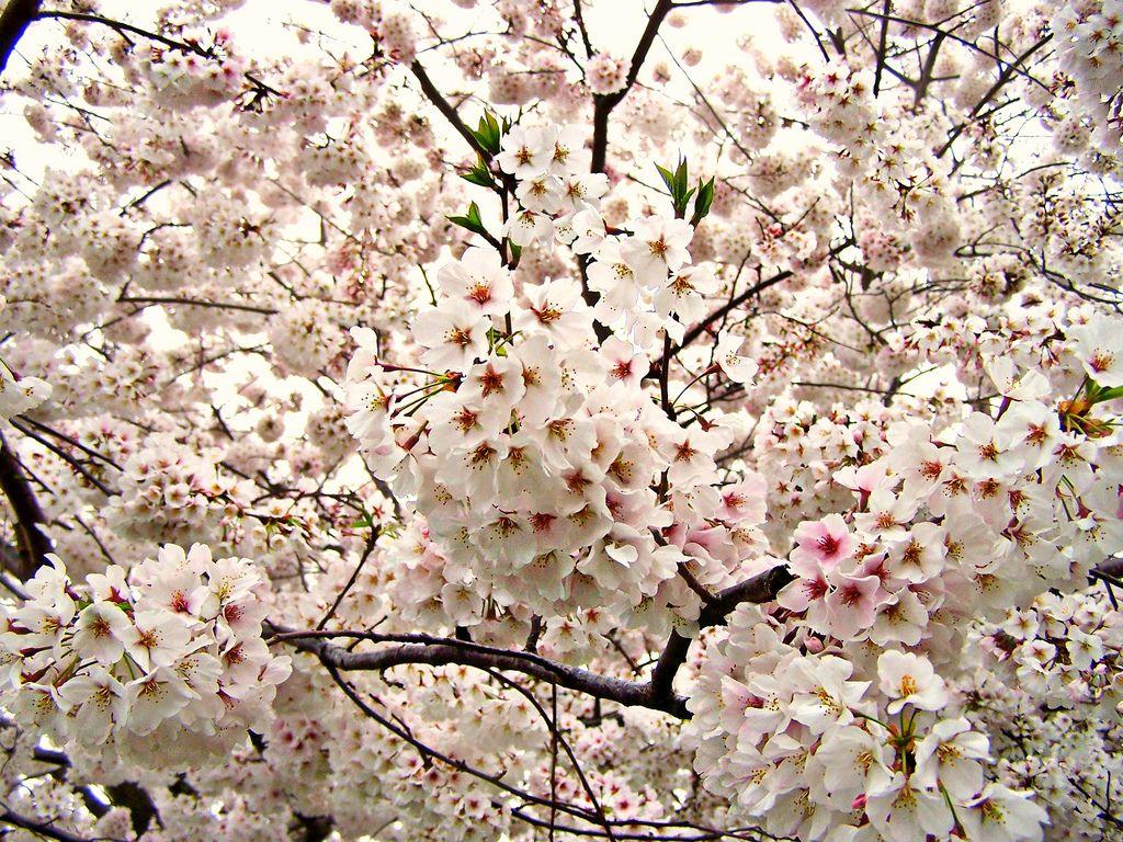 Pure White Flowering Trees White Flowers Flowering Plum Tree