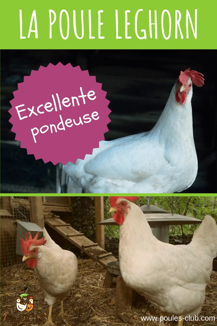 Mettre Des Poules Dans Son Jardin la leghorn, une belle poule blanche excellente pondeuse