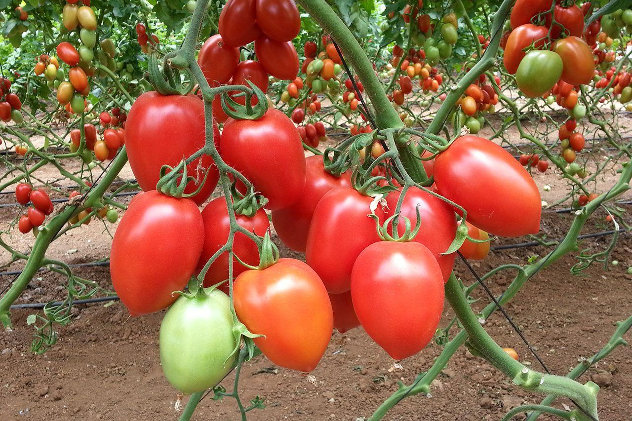 Сорта помидор для теплиц фото является