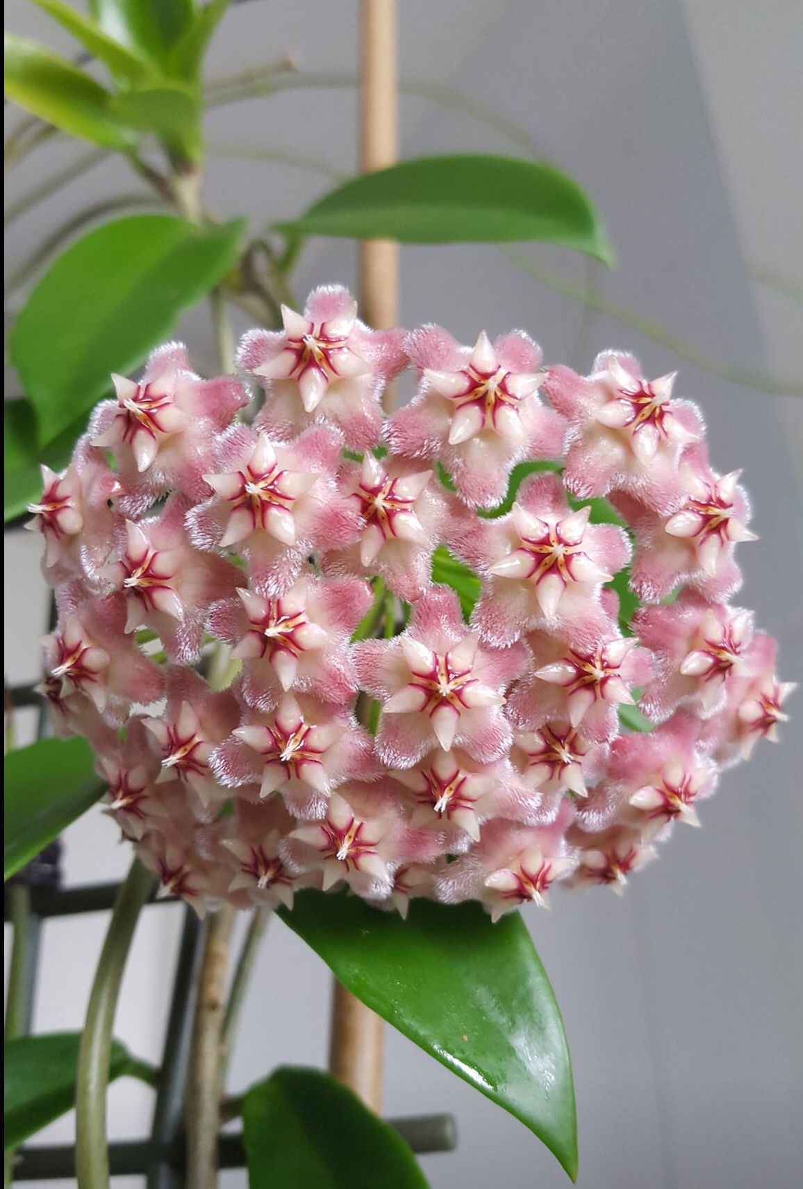 Hoya Pubicalyx Pink Dragon Just Opened Her Flowers Happy Hoyas
