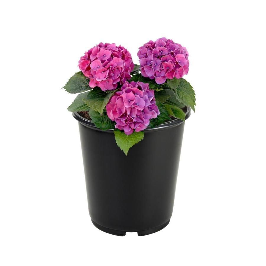 2 5 Quart Multicolor Hydrangea Flowering Shrub In Pot L6357 Lowes Com Flowering Shrubs Hydrangea Flower Pots