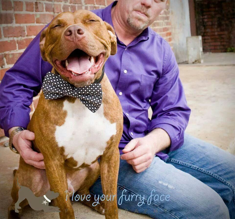 Love The Bow Tie Heartwarming Pictures Pitbull Lover Bully Breeds