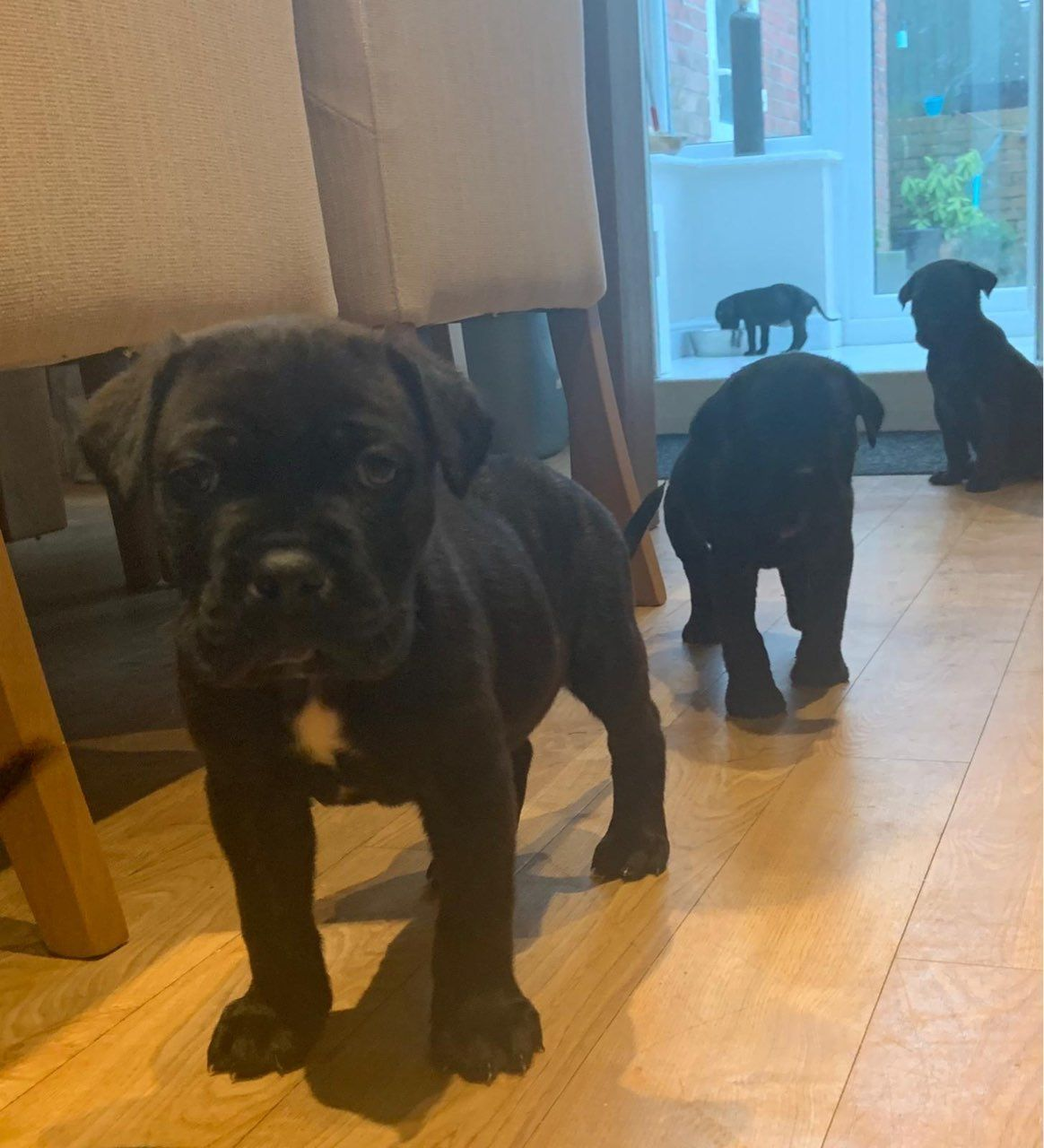 Kuwait Dogs And Puppies Adoption And Sales Email Us At Khaleelsalafi Hot Can Kuwait Dogs And Puppi In 2020 Cane Corso Puppies Puppy Adoption Puppies For Sale