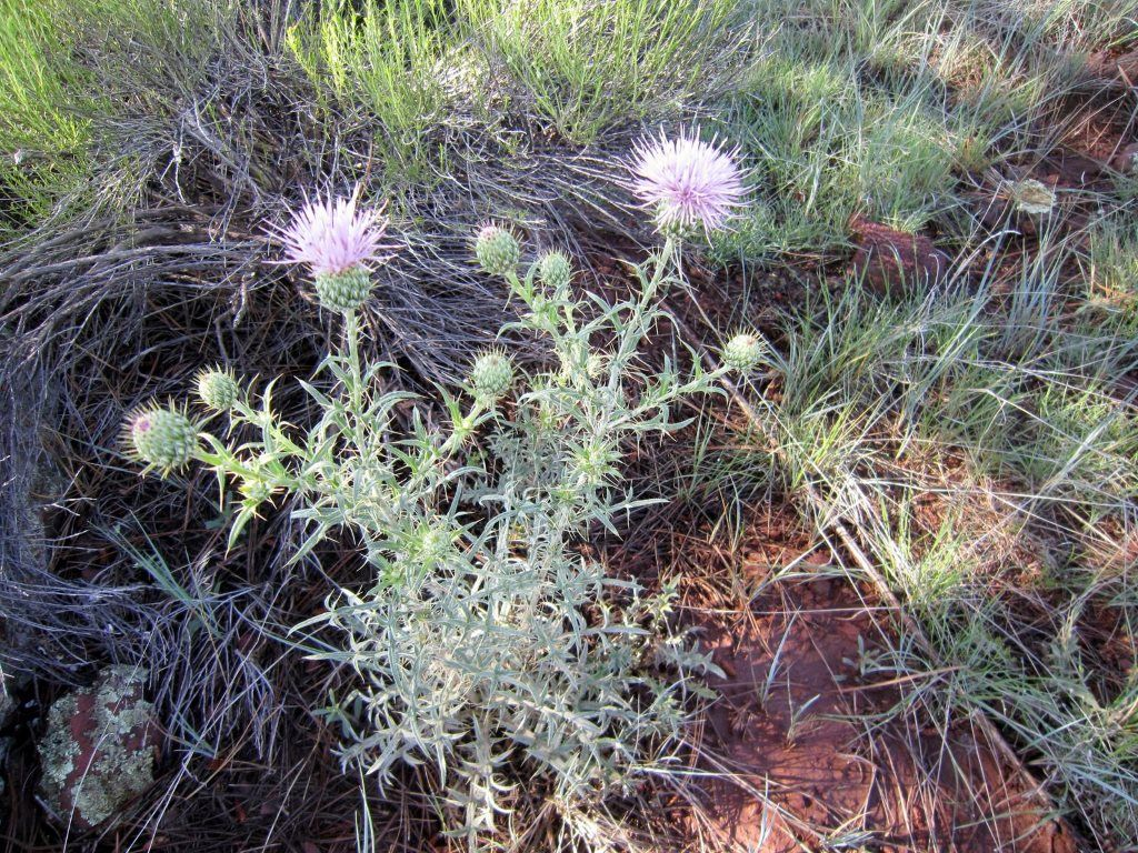 Thistles in Arizona High Country in July- photo courtesy of David Scott's Blog http://davidswanderings.com/2013/07/23/arizona-high-country-in-july/