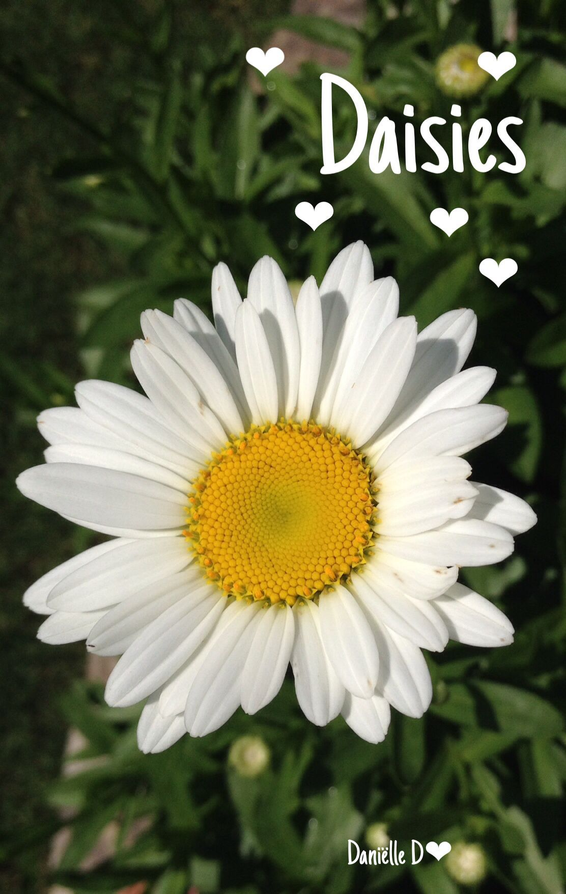 The Daisy Cottage X Daisys Pinterest Flowers