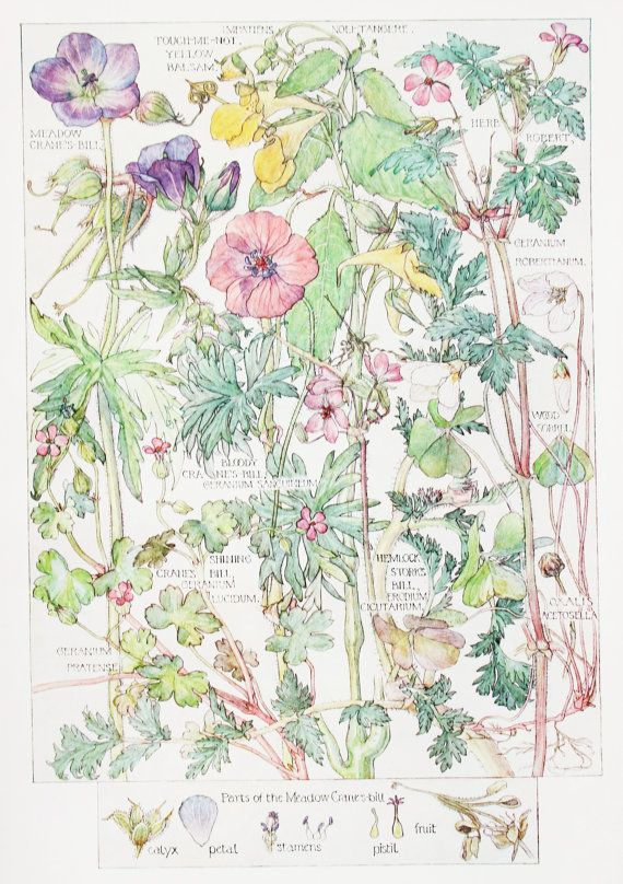 1910 Botanical Print by H. Isabel Adams: Crane's-Bill Family, Meadow, Bloody, Shining, Herb Robert, Touch-me-not Yellow Balsam, Hemlock ...