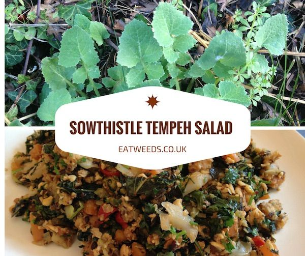 The sowthistle grows nearly anywhere find some and make this great wild food recipes archives page 2 of 21 eatweeds forumfinder Images