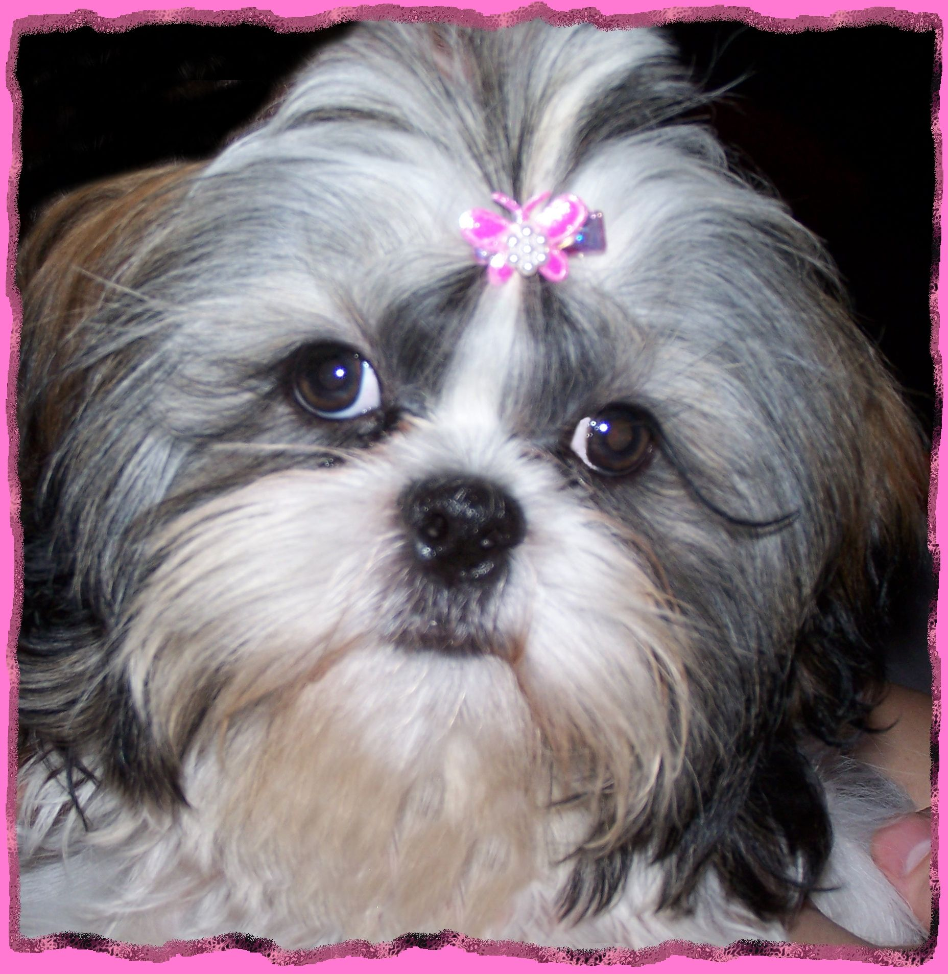 sweet baby girl Puppies, Dog love, Shih tzus