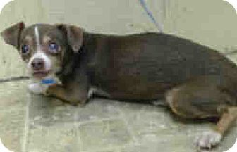 New York Ny Chihuahua Mix Meet Gordie Coste Foster Needed A Dog For Adoption Dog Adoption Chihuahua Mix Pets