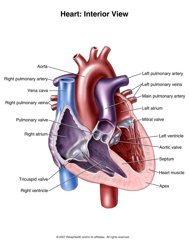 Interior view of the human heart | Human Heart Reference Pictures ...