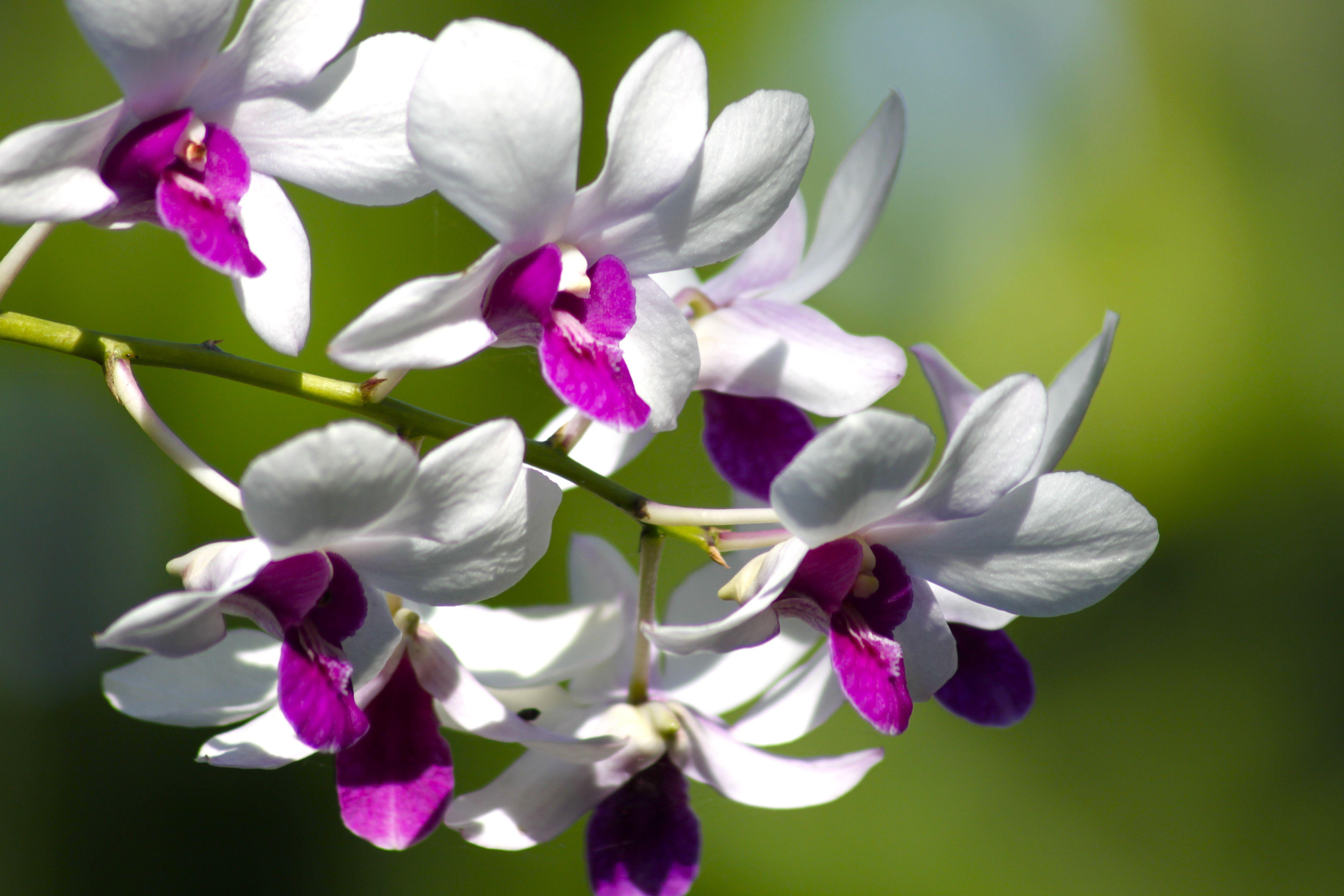 Bunga Anggrek Plants Flowers Garden