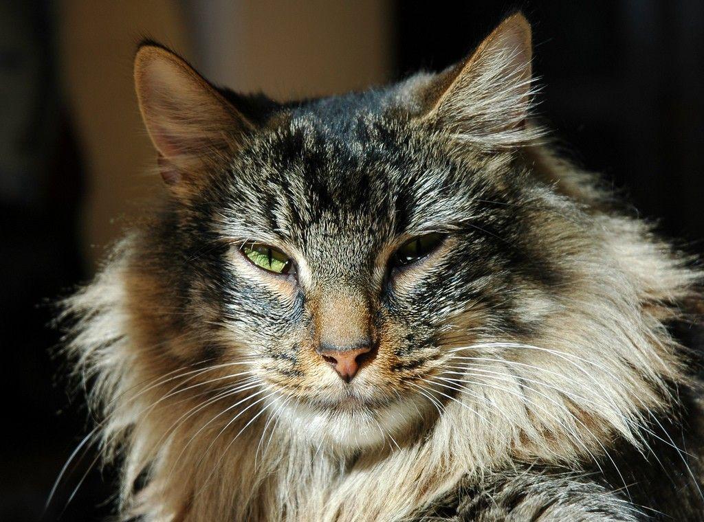 Norwegian forest cat Rare cats, Rare cat breeds