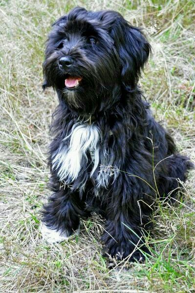 Pin By Anna Thal On Schonheiten Havanese Dogs Cute Dogs Dog Breeds