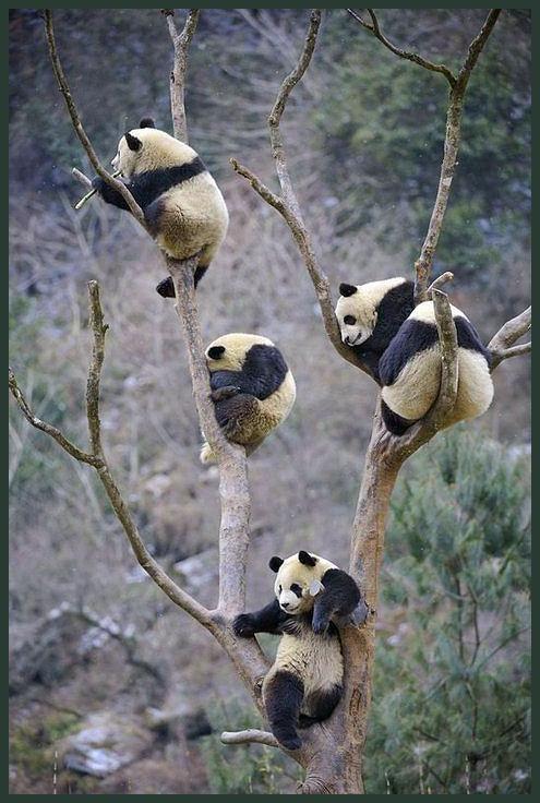 pandas growing on trees! 나무 위에 팬더가 열렸네