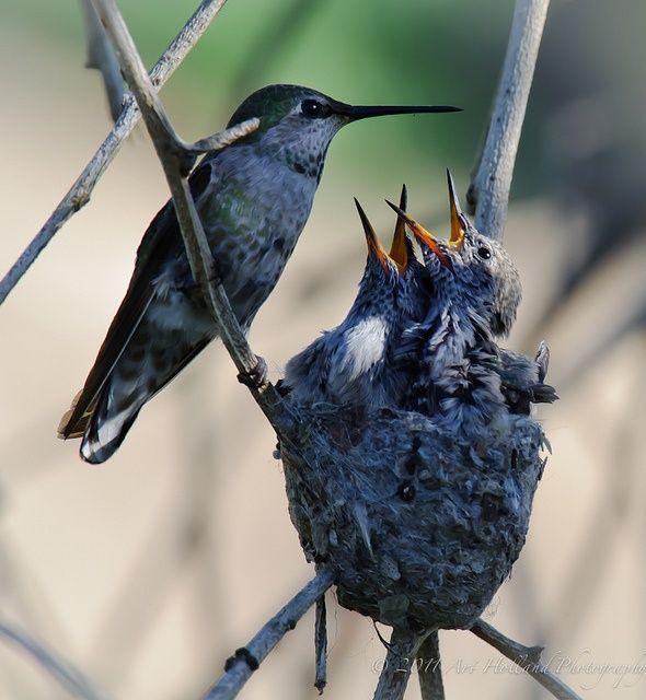 Colibri Y Sus Crias Nidos De Aves Aves De Compania Aves Pajaros