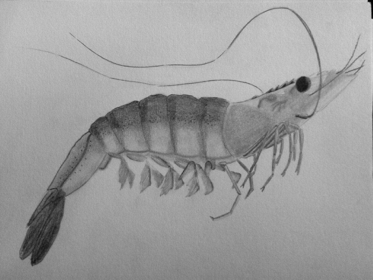 Shrimp drawings in 2019 sea life art coastal art sea glass art
