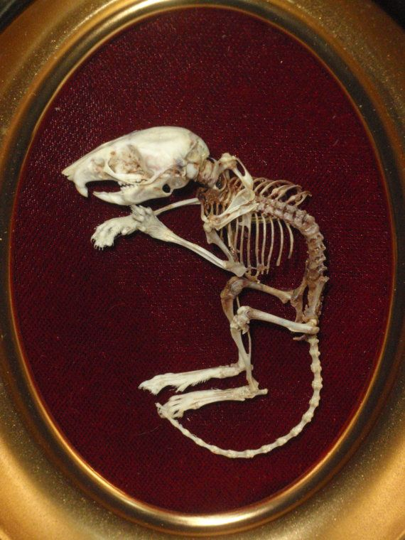 Articulated Deer Mouse Skeleton In Vintage Domed Glass