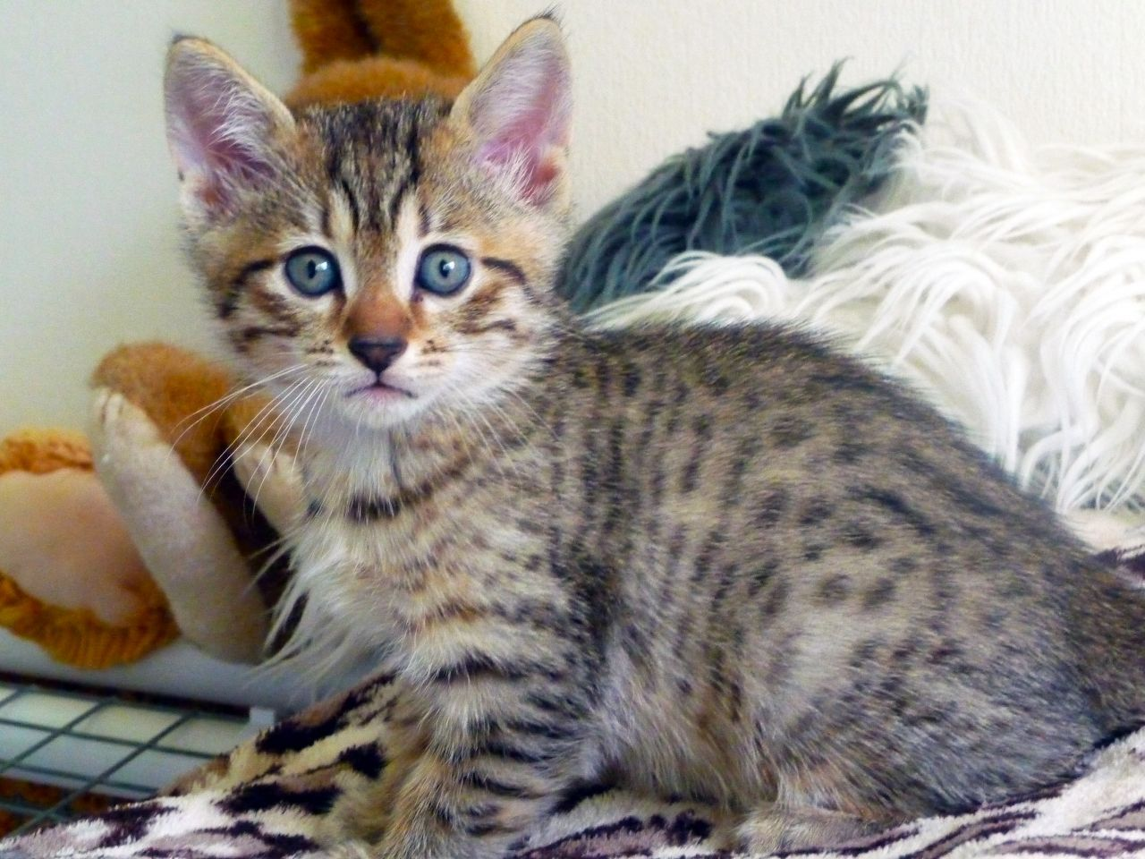 Egyptian Maus Cat Are A Small To Medium Sized Short Haired Cat Breed Along With The Bahraini Dilmun Cat They Are One Of Kitten For Sale Cattery Egyptian Mau
