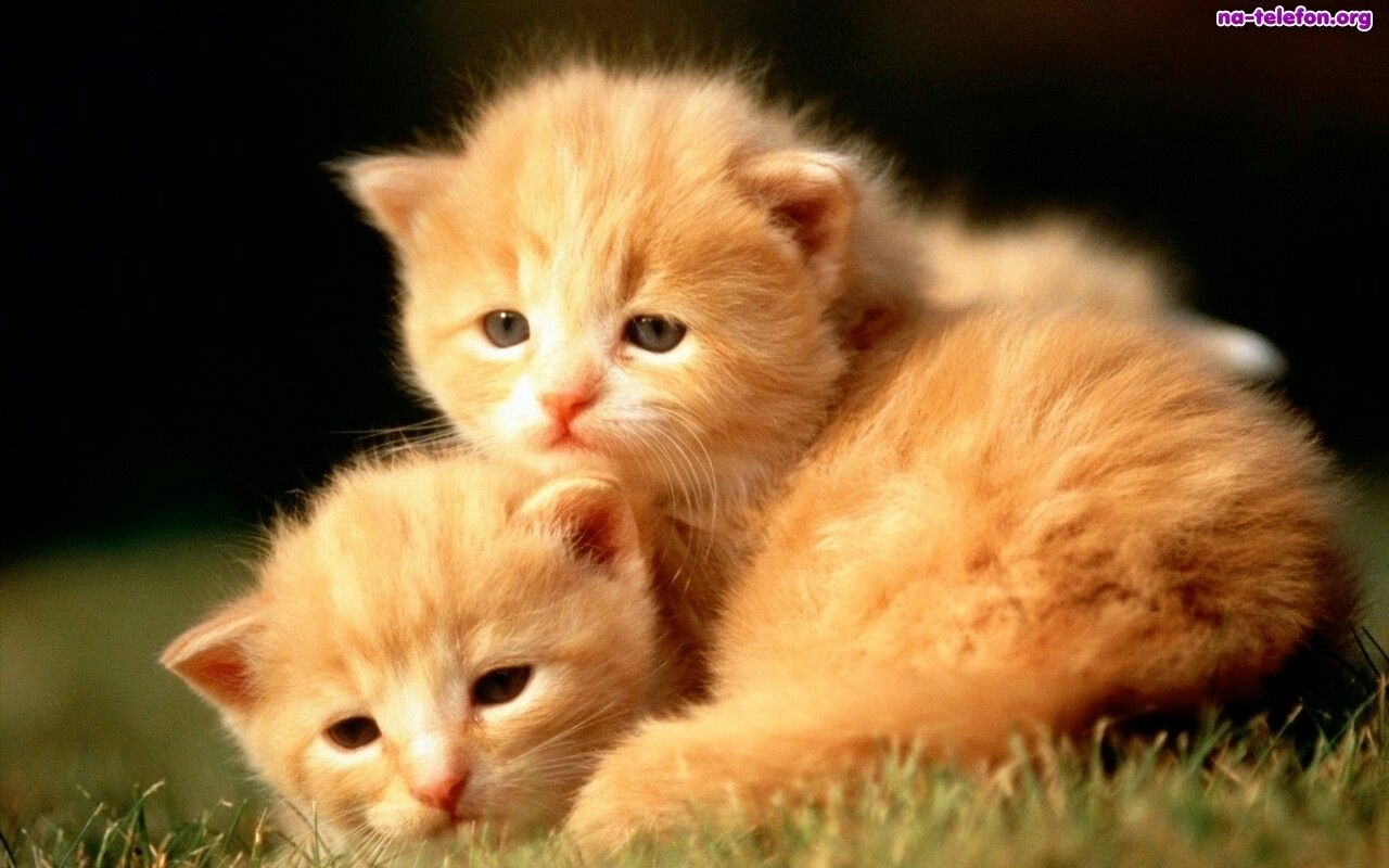Pin by kitti on photo animals pinterest animal two cats kittens cute animals ginger free grumpy cat desktop wallpaper voltagebd Choice Image