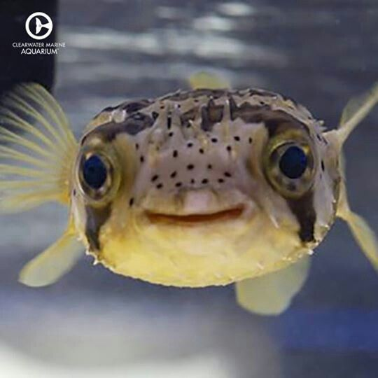 Clearwater marine aquarium puffer fish have 4 teeth that for Cute freshwater fish
