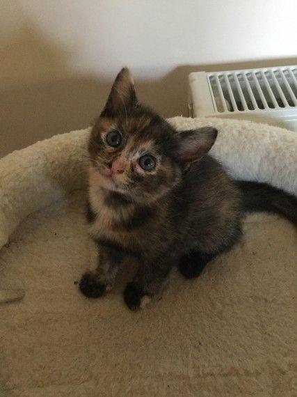 Burmese British Cross Kittens For Sale Heathfield, East