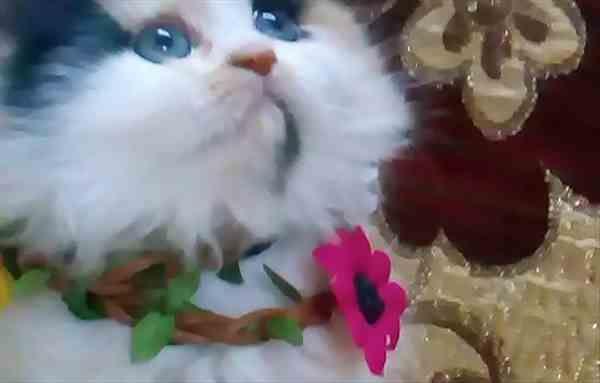 بيع و شراء حيوانات في مصر كلاب وقطط واسماك وطيور للبيع علي كوبرا مصر اسعار قطط Pets Cat S Pet Supplies