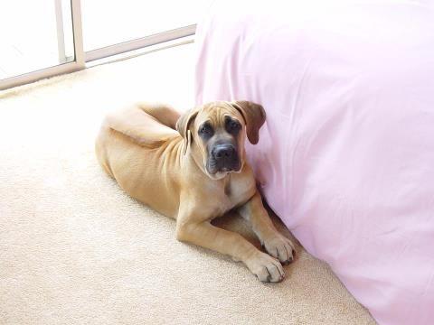 Must see Boerboel Black Adorable Dog - ffa86a66ad45323fe407beaaa63cc500  Collection_469285  .jpg