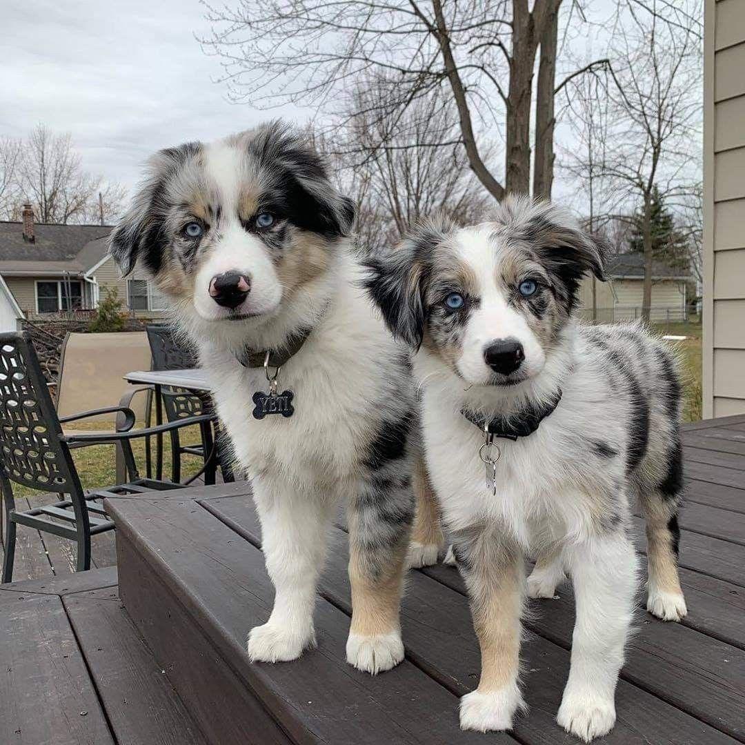 Pinterest Eydeirrac Aussie Puppies Puppies Beautiful Dogs