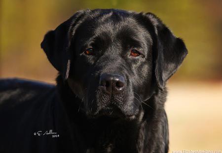 Horne S Labradors Labrador Puppies For Sale Labrador Stud Service Black Labrador Puppies English Lab Puppies Labrador Puppies For Sale Lab Puppies